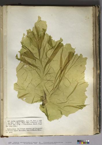Crouan Frères. Algues marines du Finistère: 3, Zoospermées. 1852 (Bibliothèque universitaire Saint-Charles, Res 10030/3) © CICRP - photo Odile Guillon