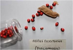 Abrus precatorius © A. Onno